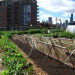 New crops urban farm in Chicago