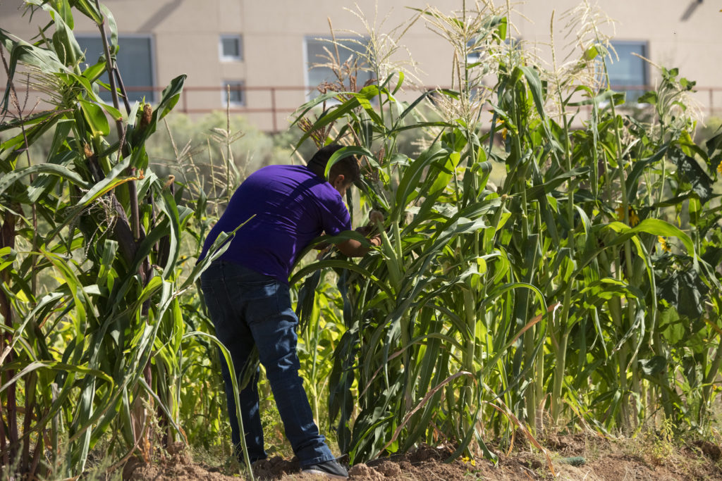 Young indigenous man tending to corn crop in the in the IAIA Demonstration Garden