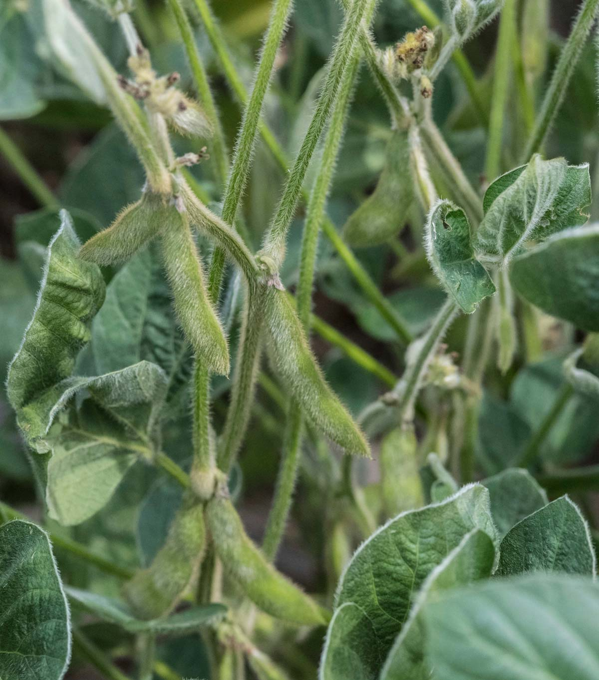 soybeans with suspected dicamba damage
