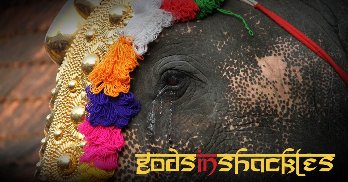 Help Expose the Heartbreaking Abuse of Temple Elephants & Watch Gods in Shackles Documentary for Free