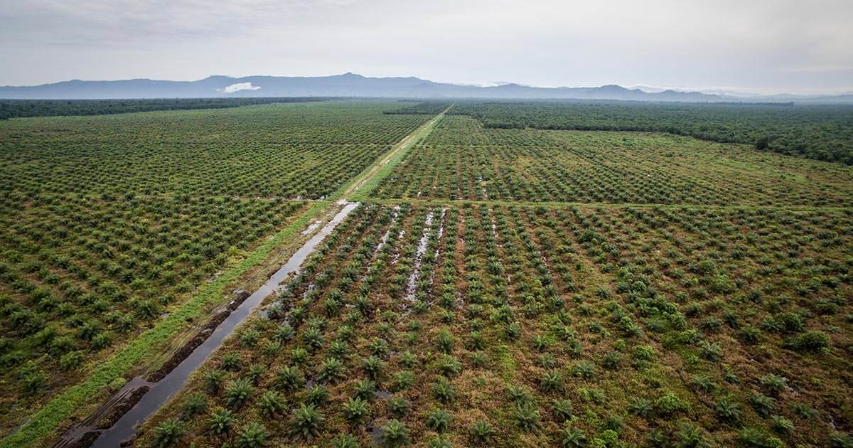 Monocrop Palm Oil Production