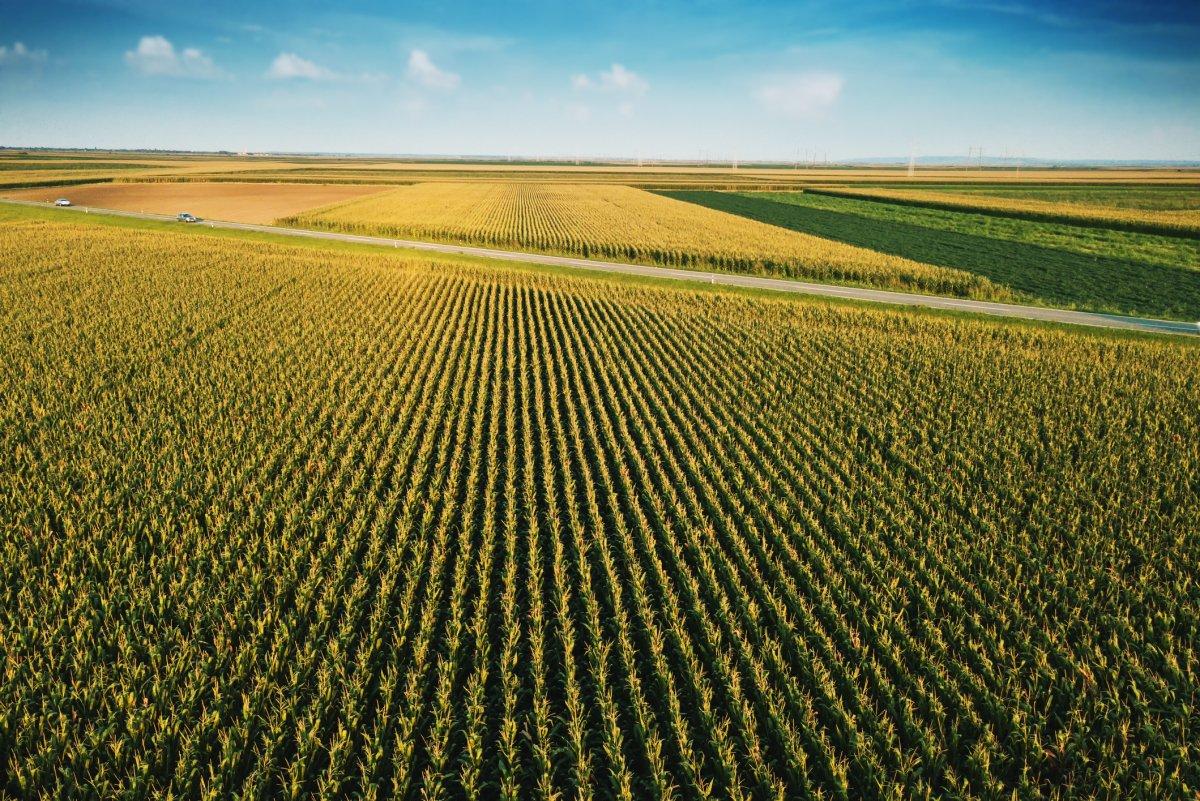 A field of corn