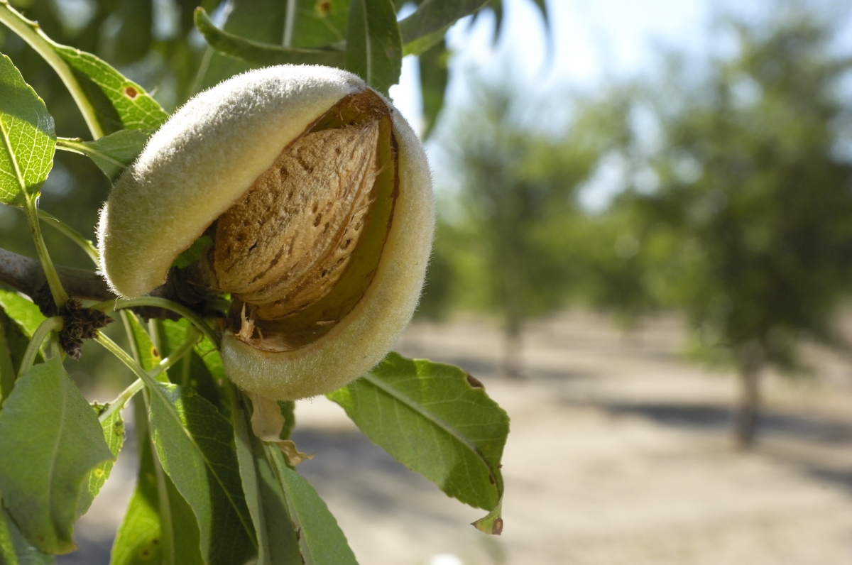 An almond growing on a tree