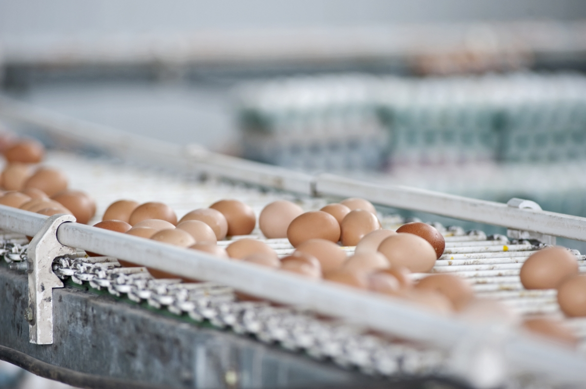 Eggs on a conveyor belt