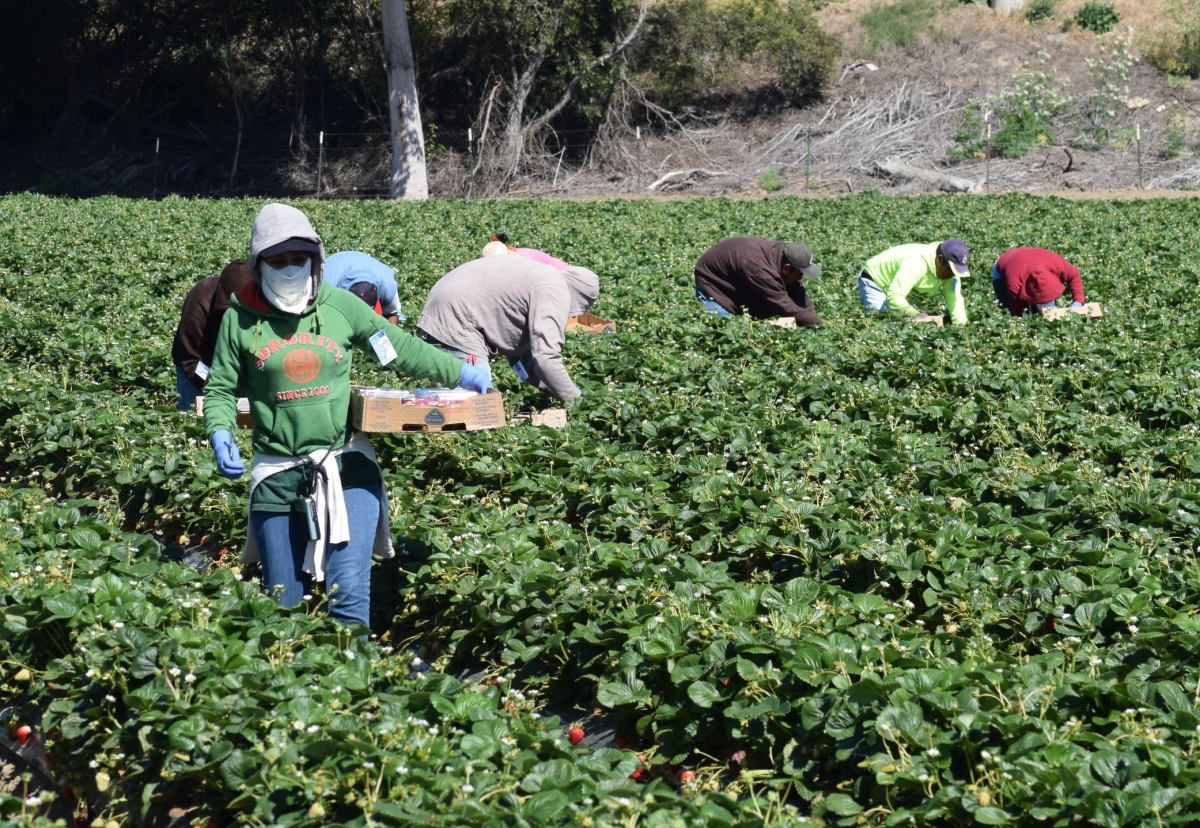 California farmworkers harvesting strawberries