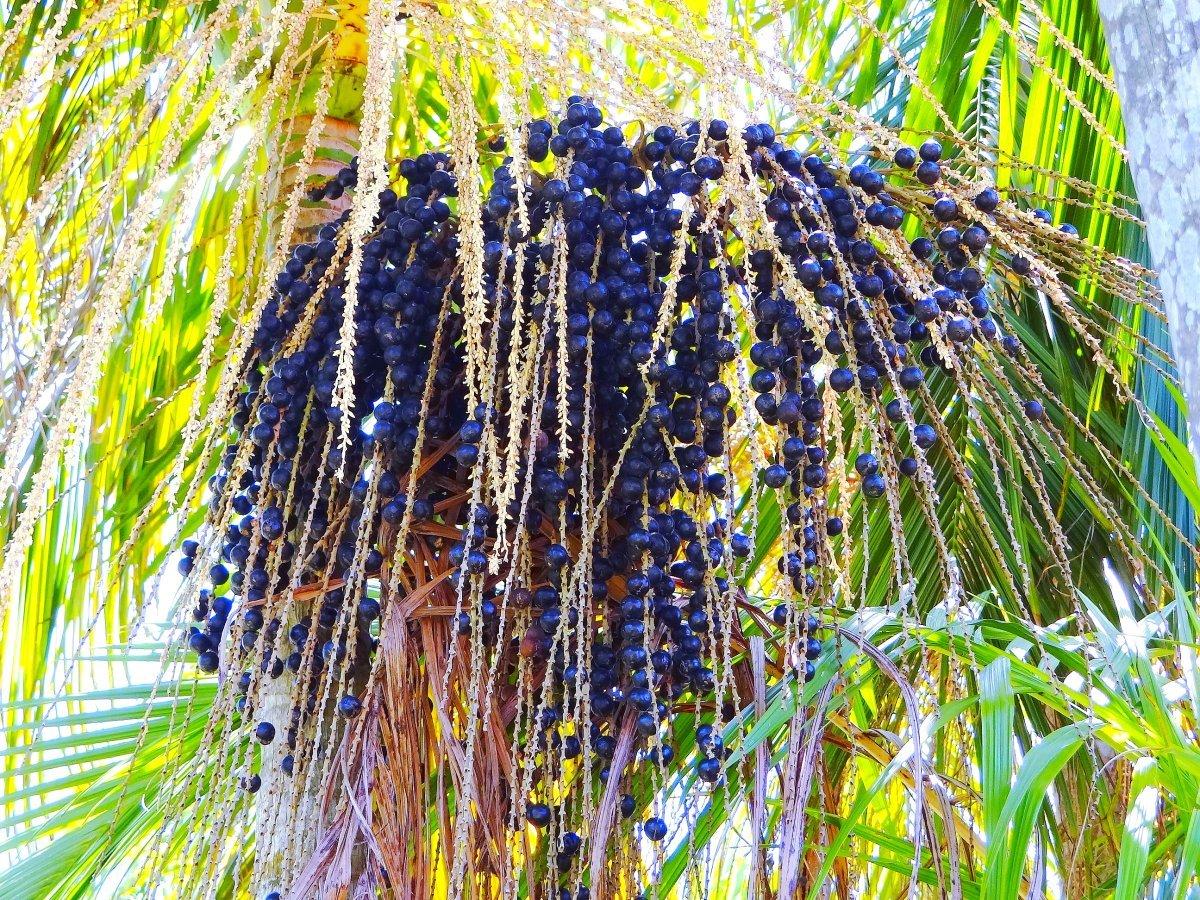 Acai berries on palm tree