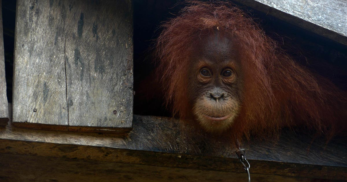Orangutan shackled - Tyson Foods