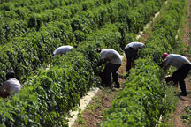 Workers pick tomatoes in the fields of DiMare Farms.