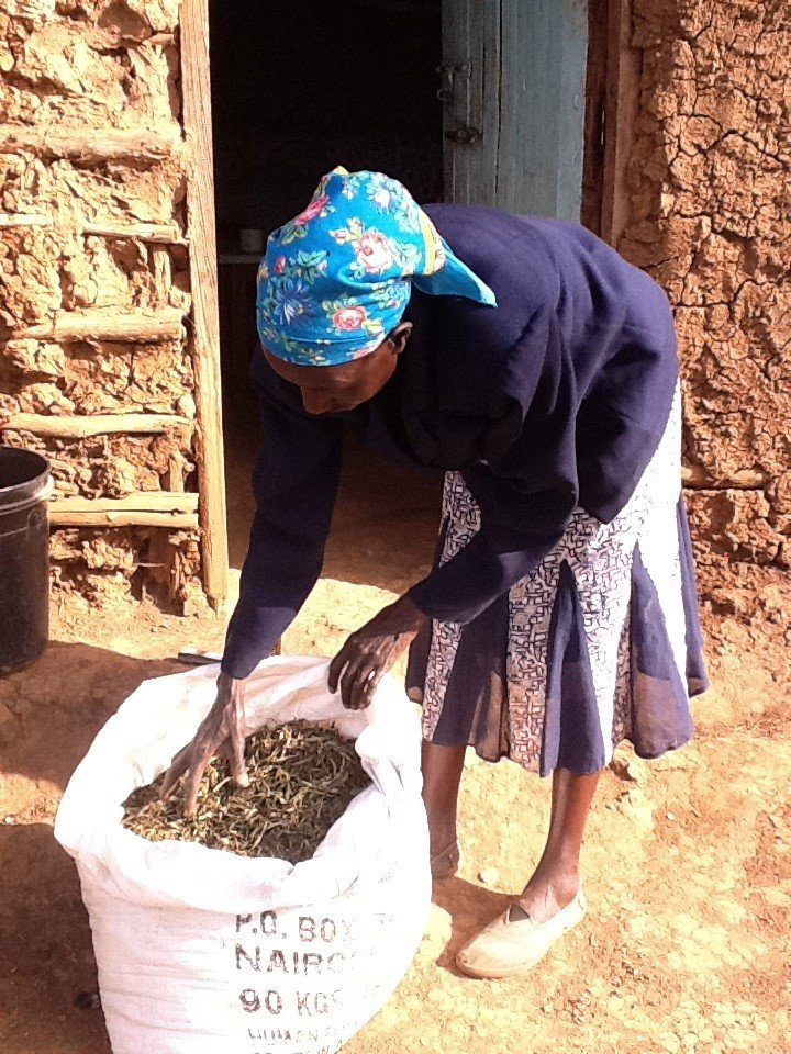 woman with bag of harvested stevia