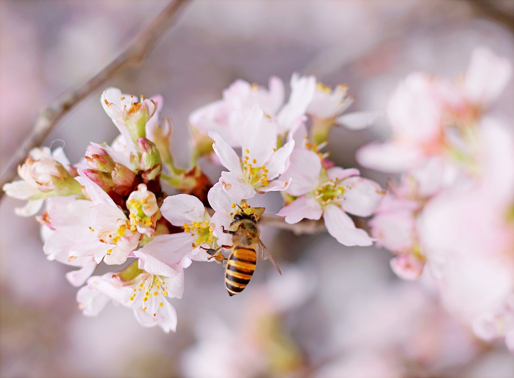 A bee on a cherry blossom