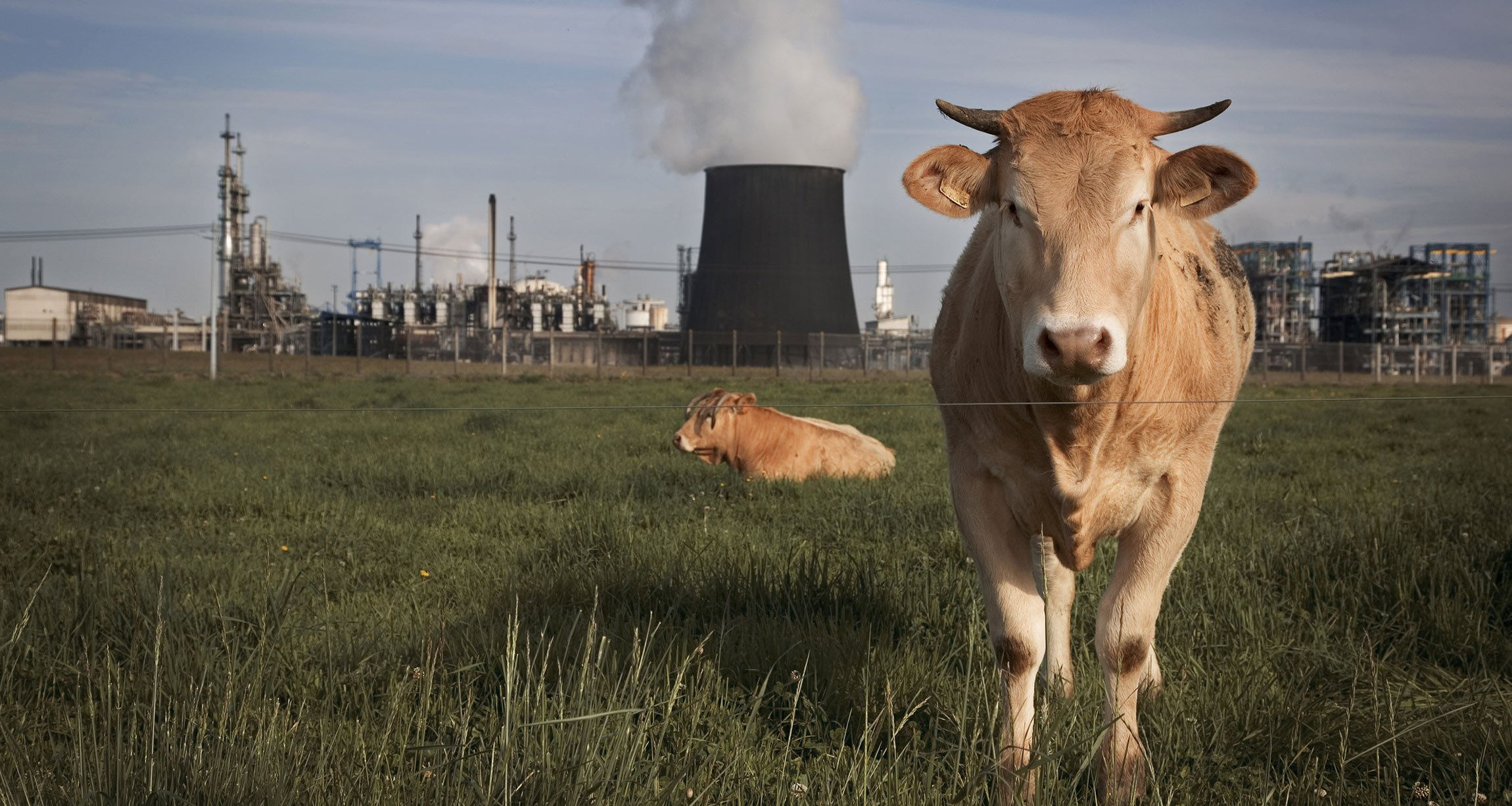 Cows in a field in front of a power plant.