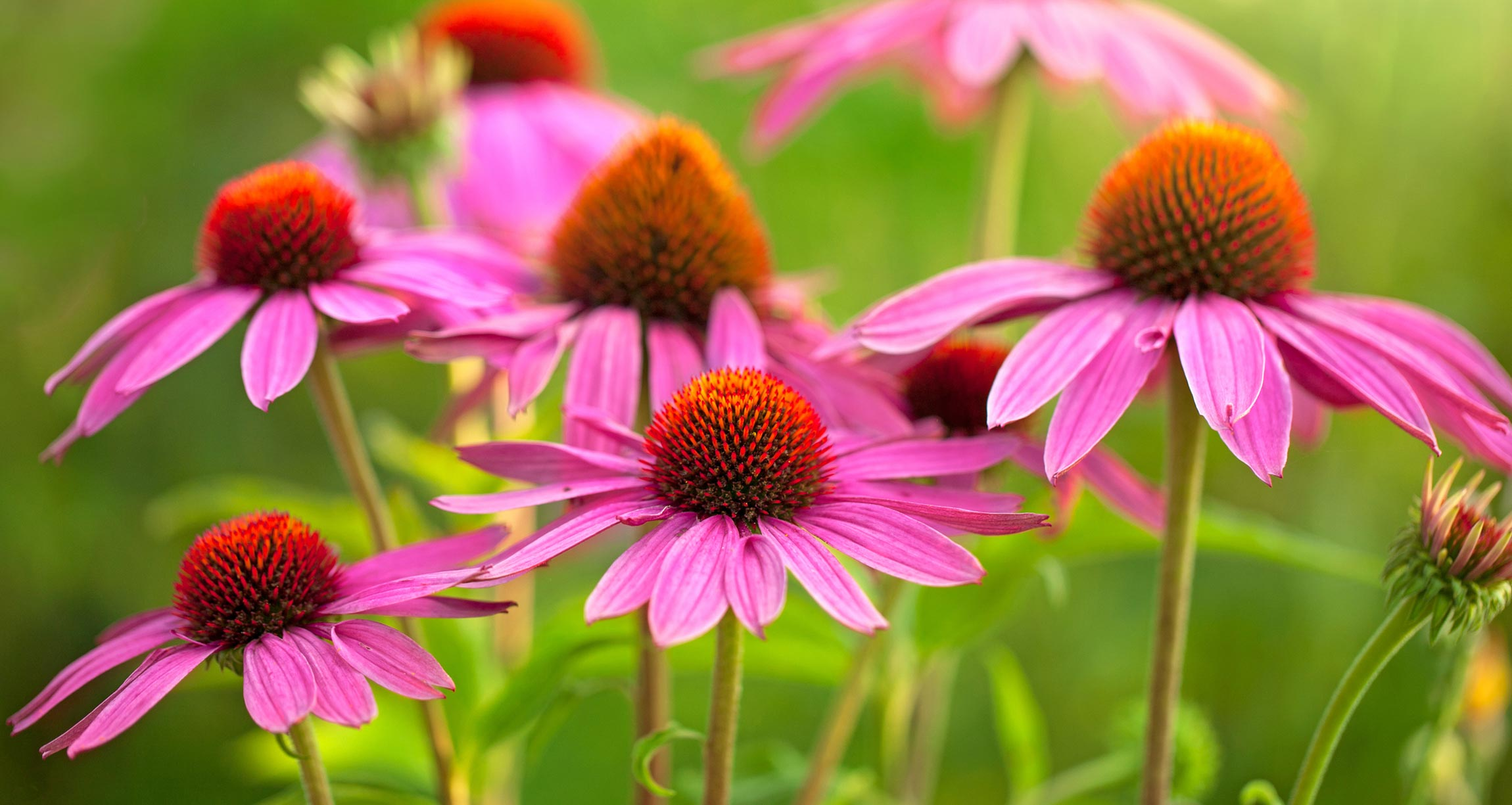 8 Science-Backed Uses for Echinacea (Boosting Immunity, Colds and Flu, and More)