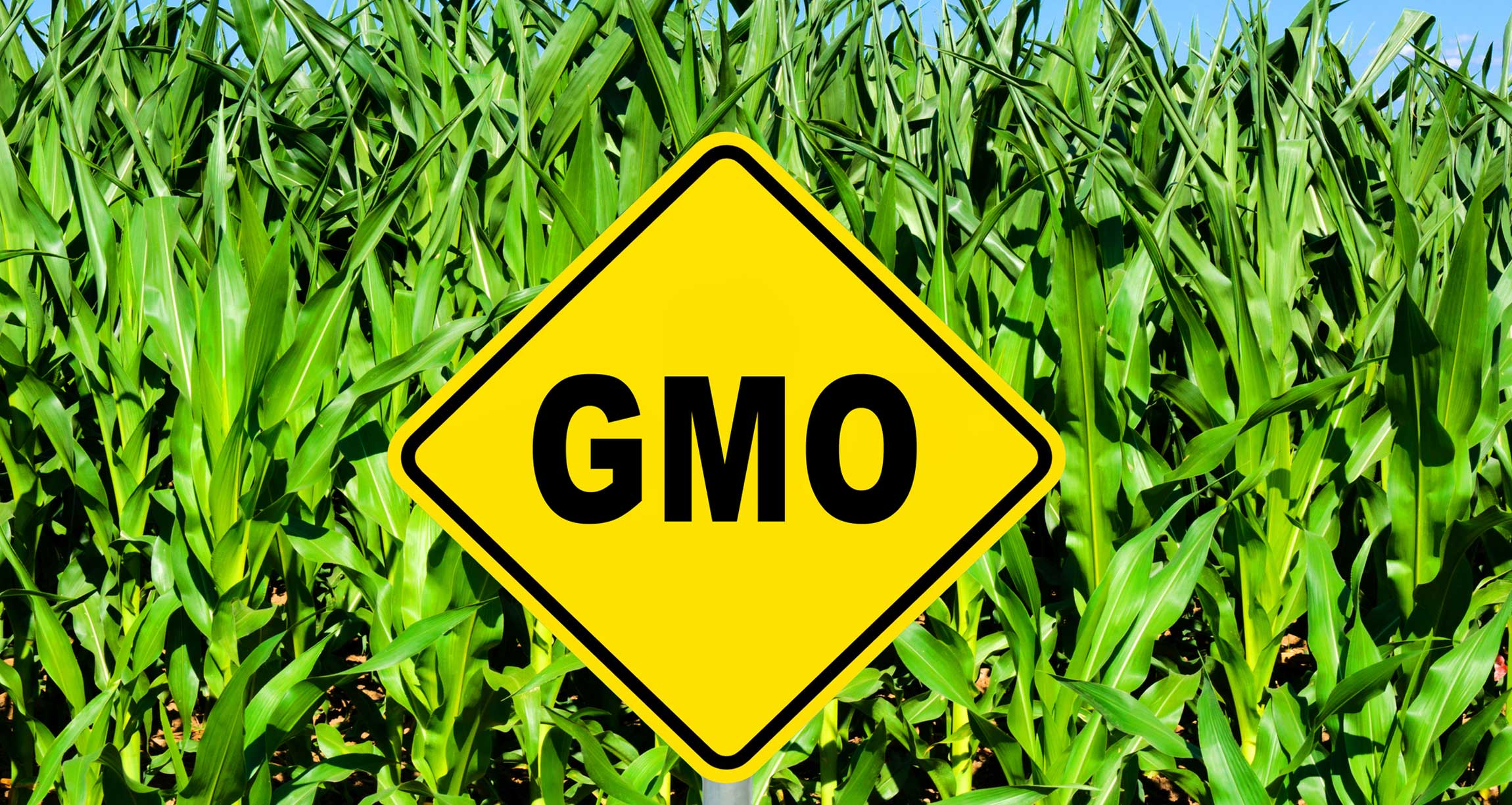 GMO sign in front of corn field