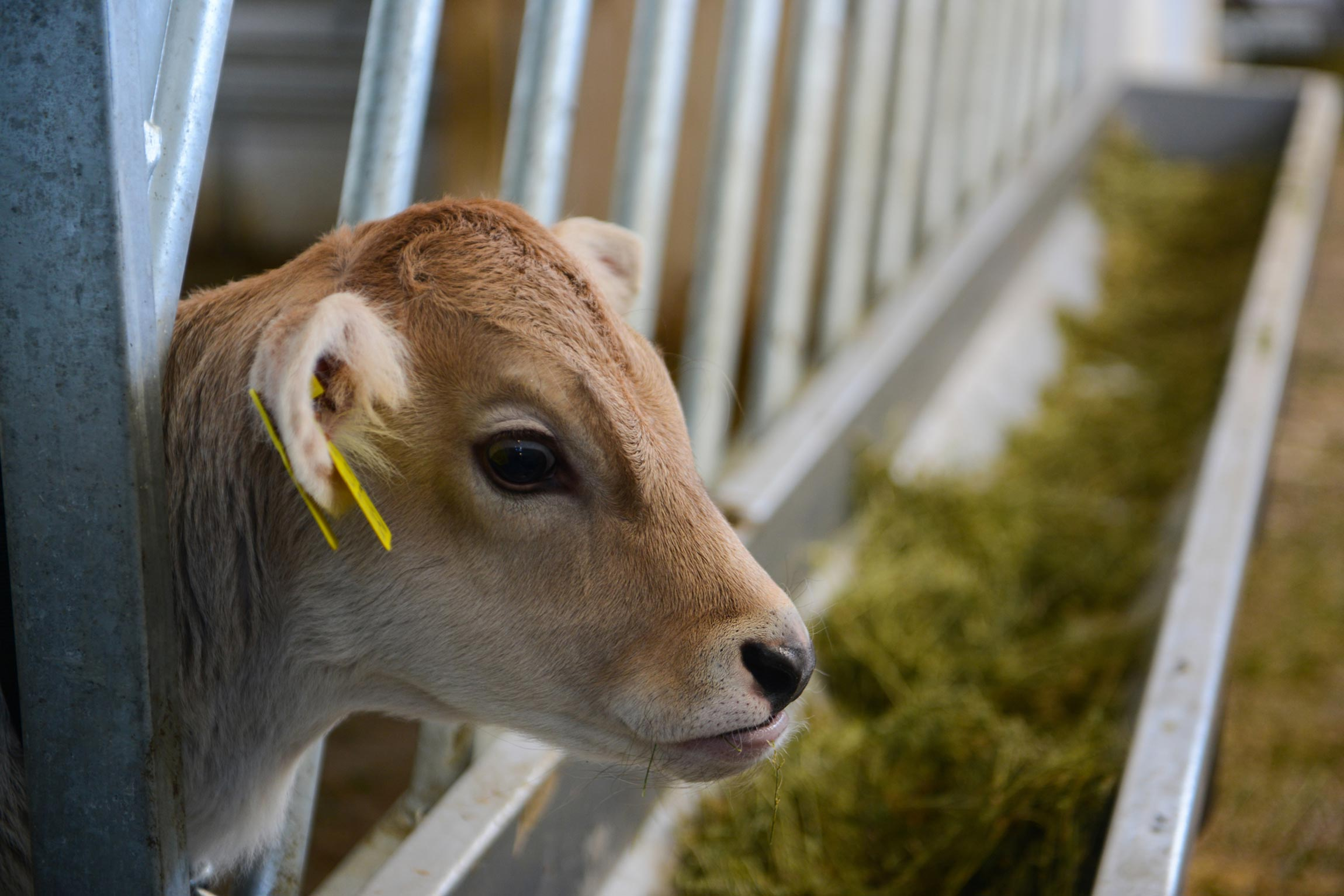 baby cow eating food from a factory farm trough