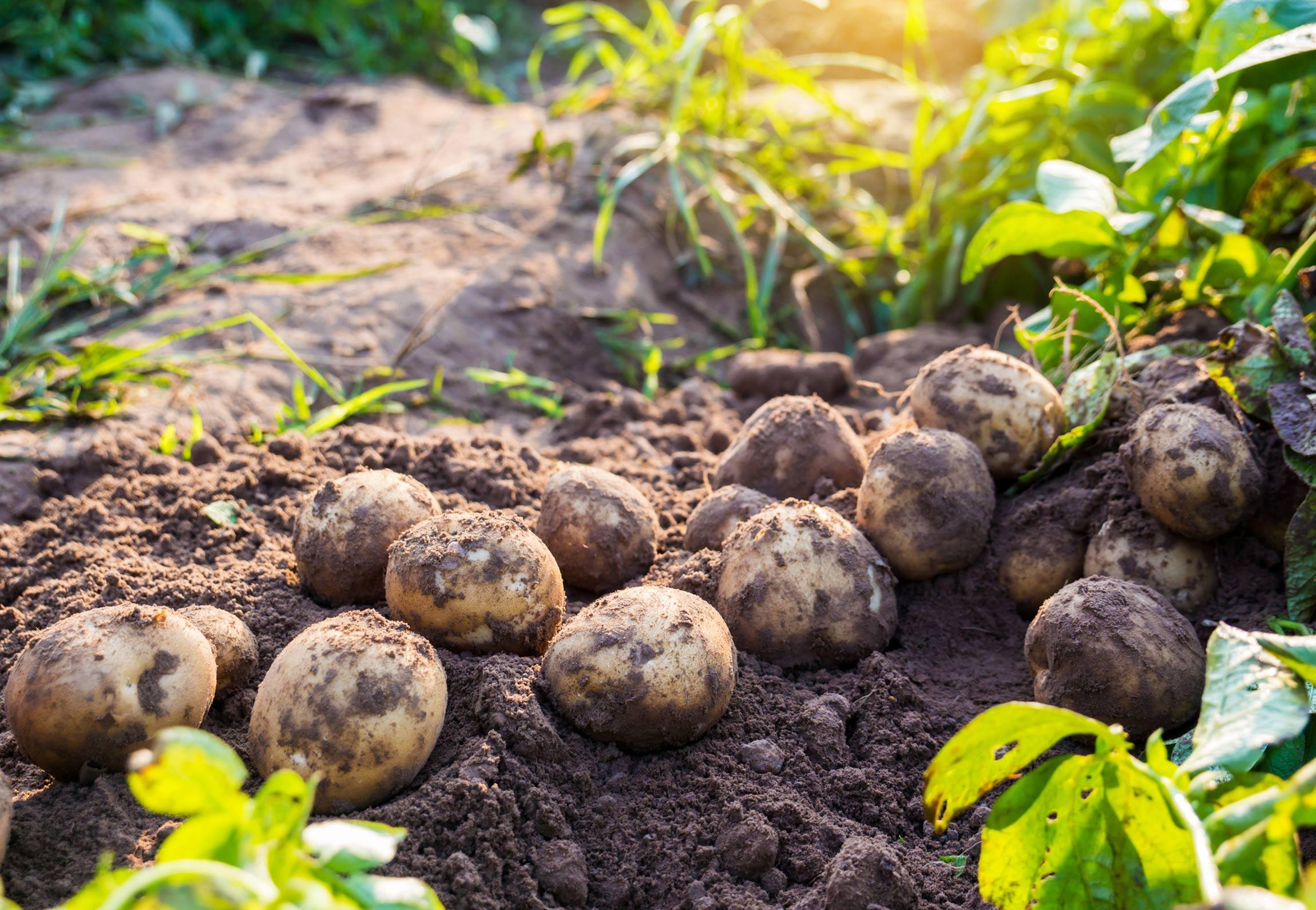 Potato nutrition: are potatoes healthy?