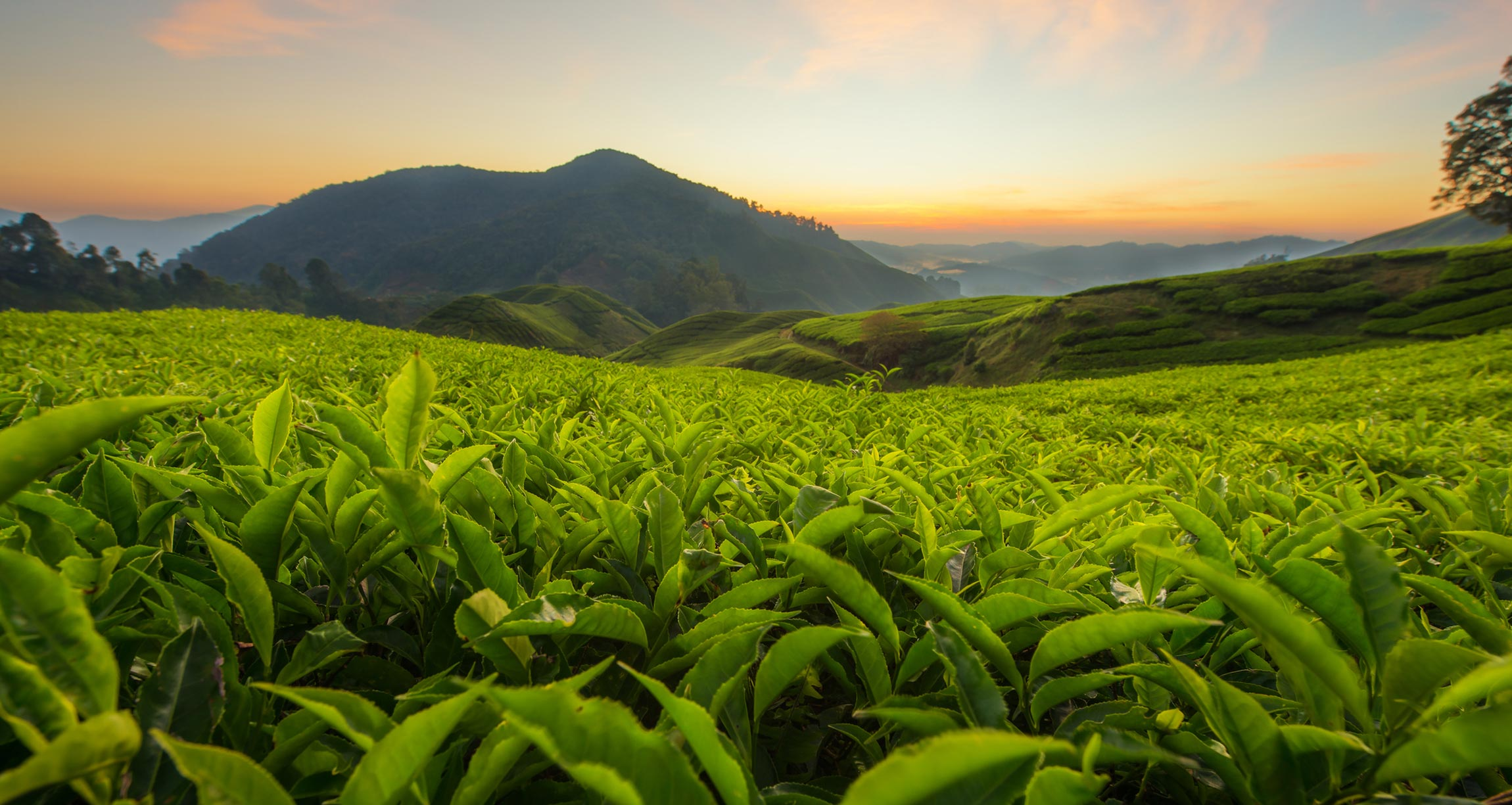 field of tea leaves