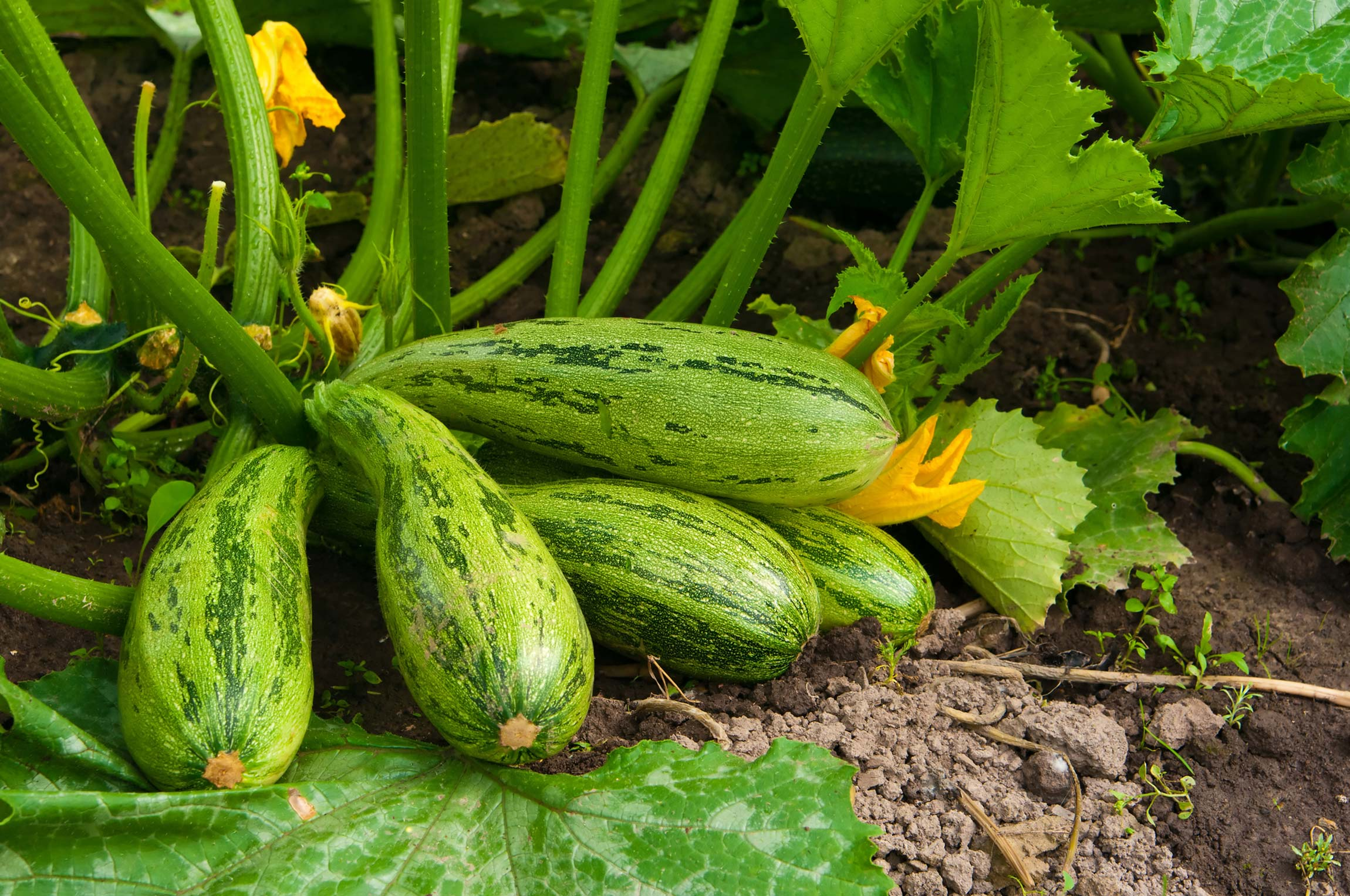 how to grow zucchini and enjoy zucchini benefits