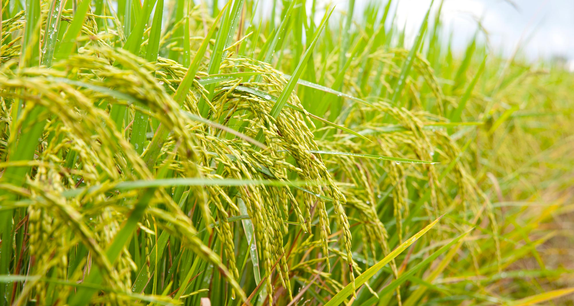 Arsenic in rice: how does it get there?