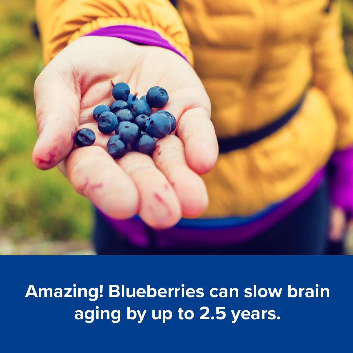 Amazing! Blueberries can slow brain aging by up to 2.5 years.