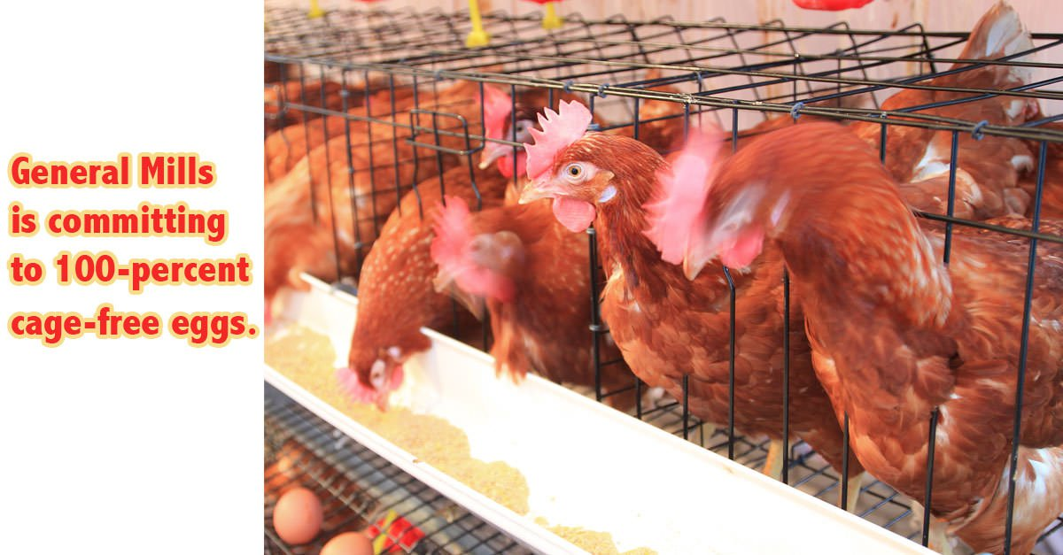 cage-free chickens