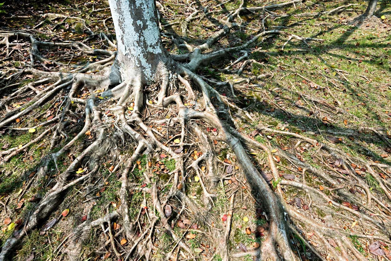 closeup of tree root system above ground