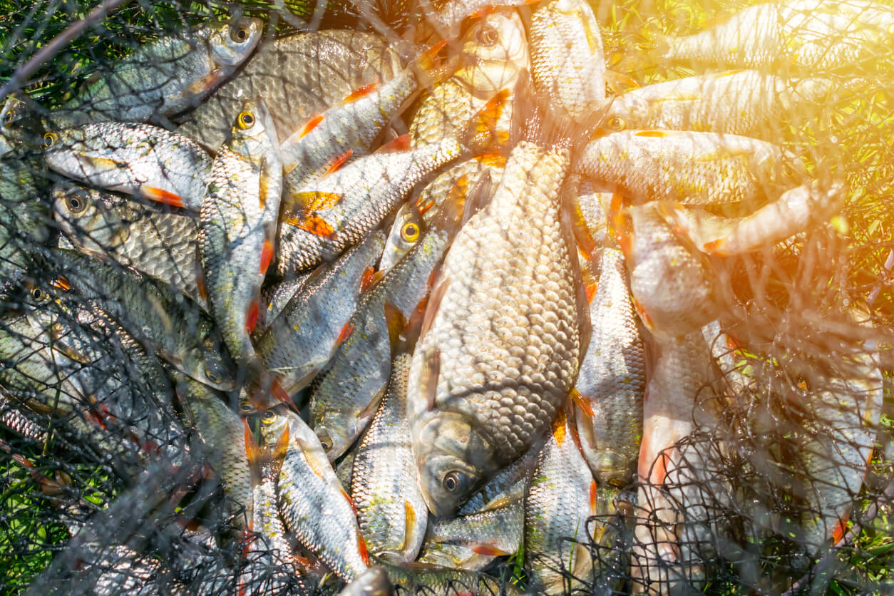 eating fish - overcatching fish in net