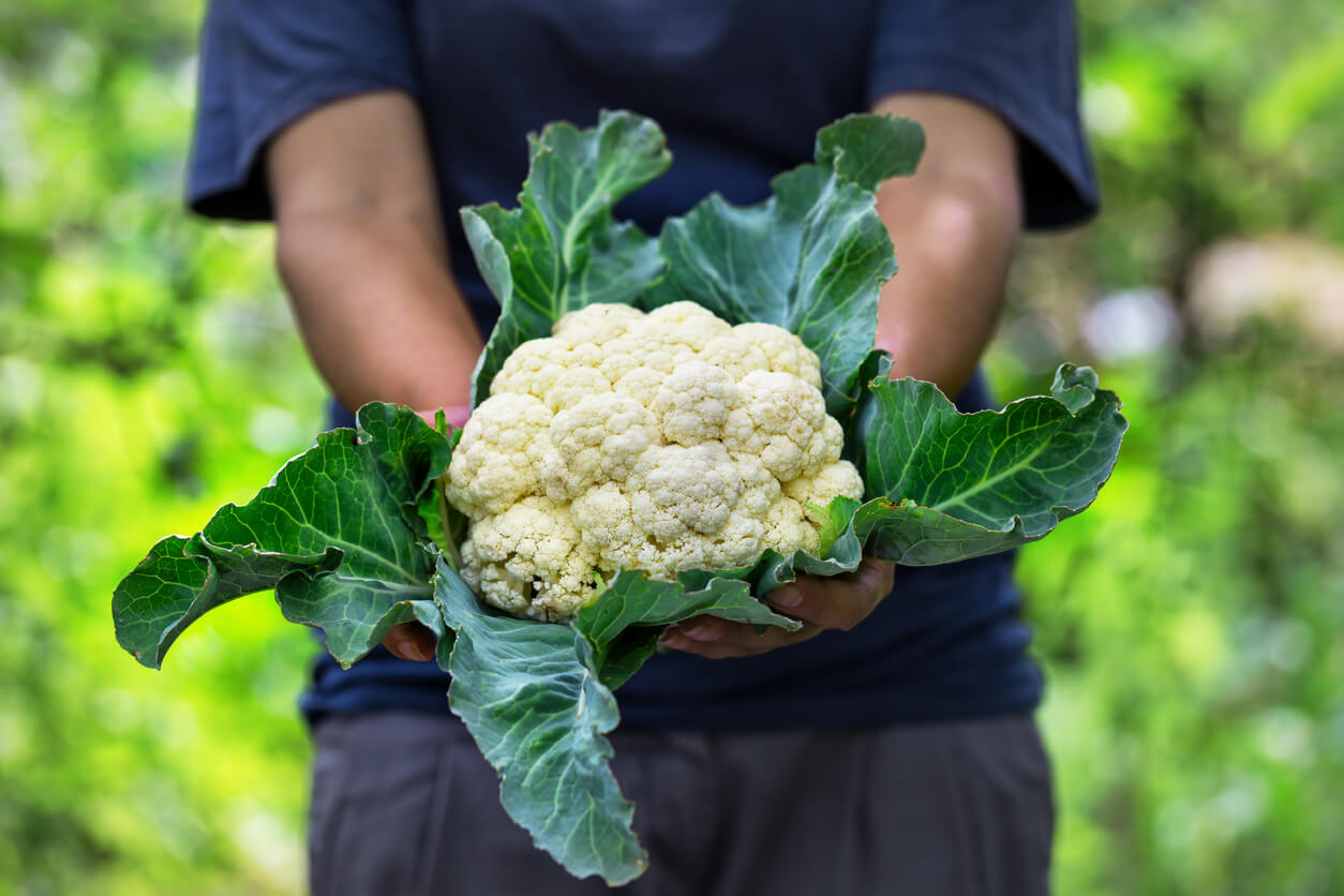 cauliflower with leaves in hands of a woman