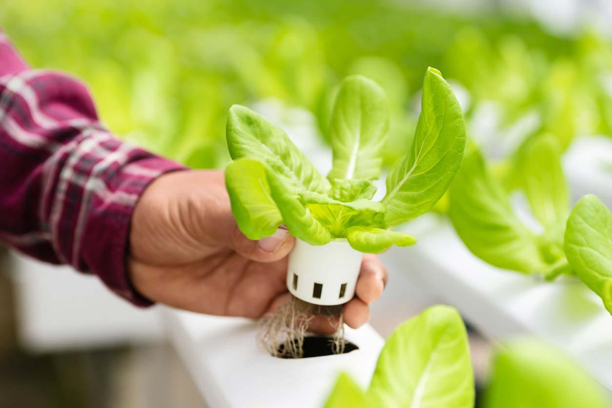hand holding hydroponics plant