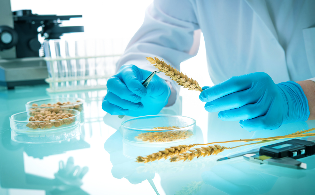 GMO scientist examining golden rice and other grains in a lab