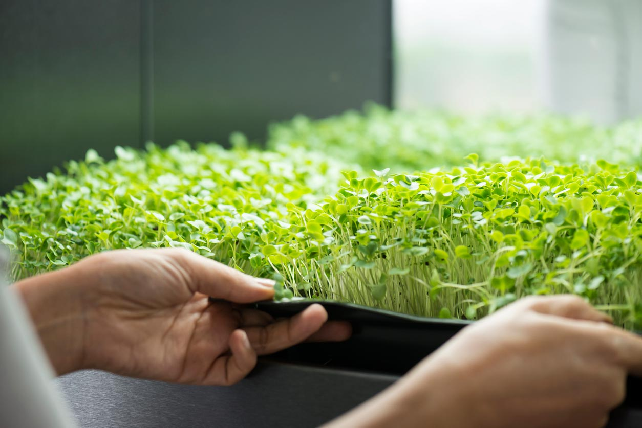 micro greens in tray