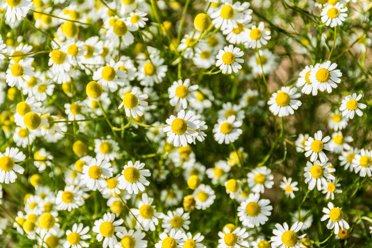 Flowering chamomile