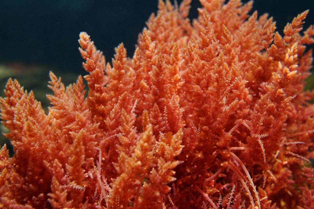 Astaxanthin from red algae, a clean skincare ingredient