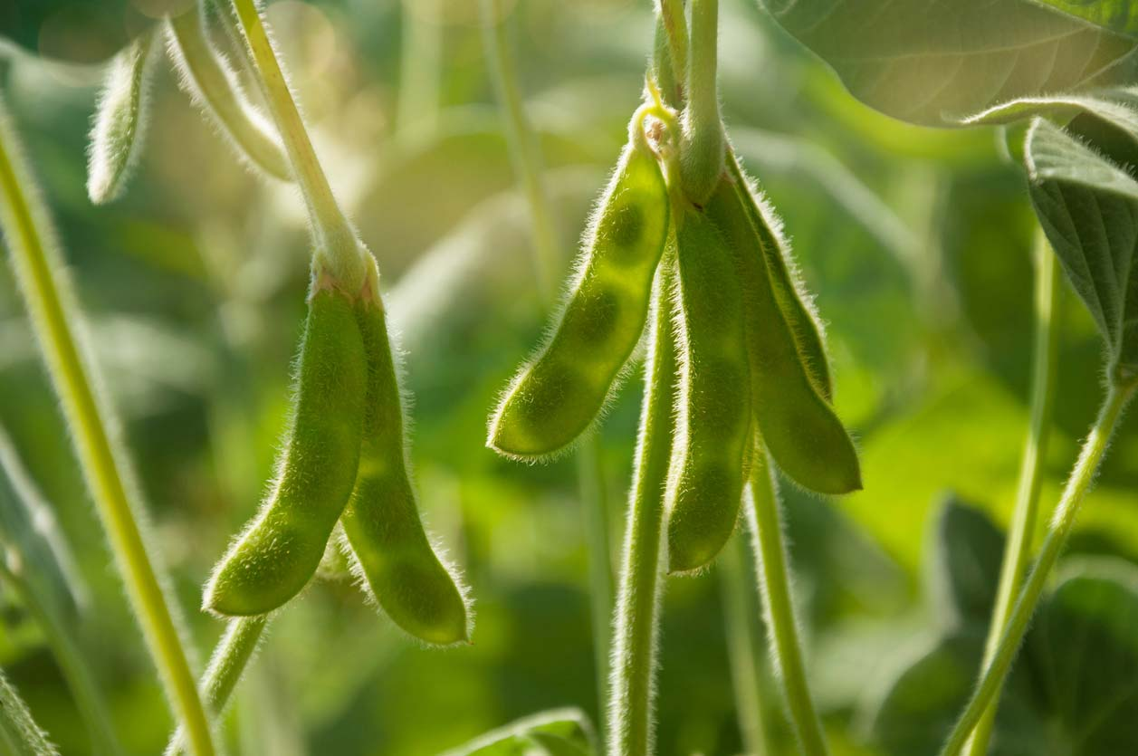 Green soybean pods on plant