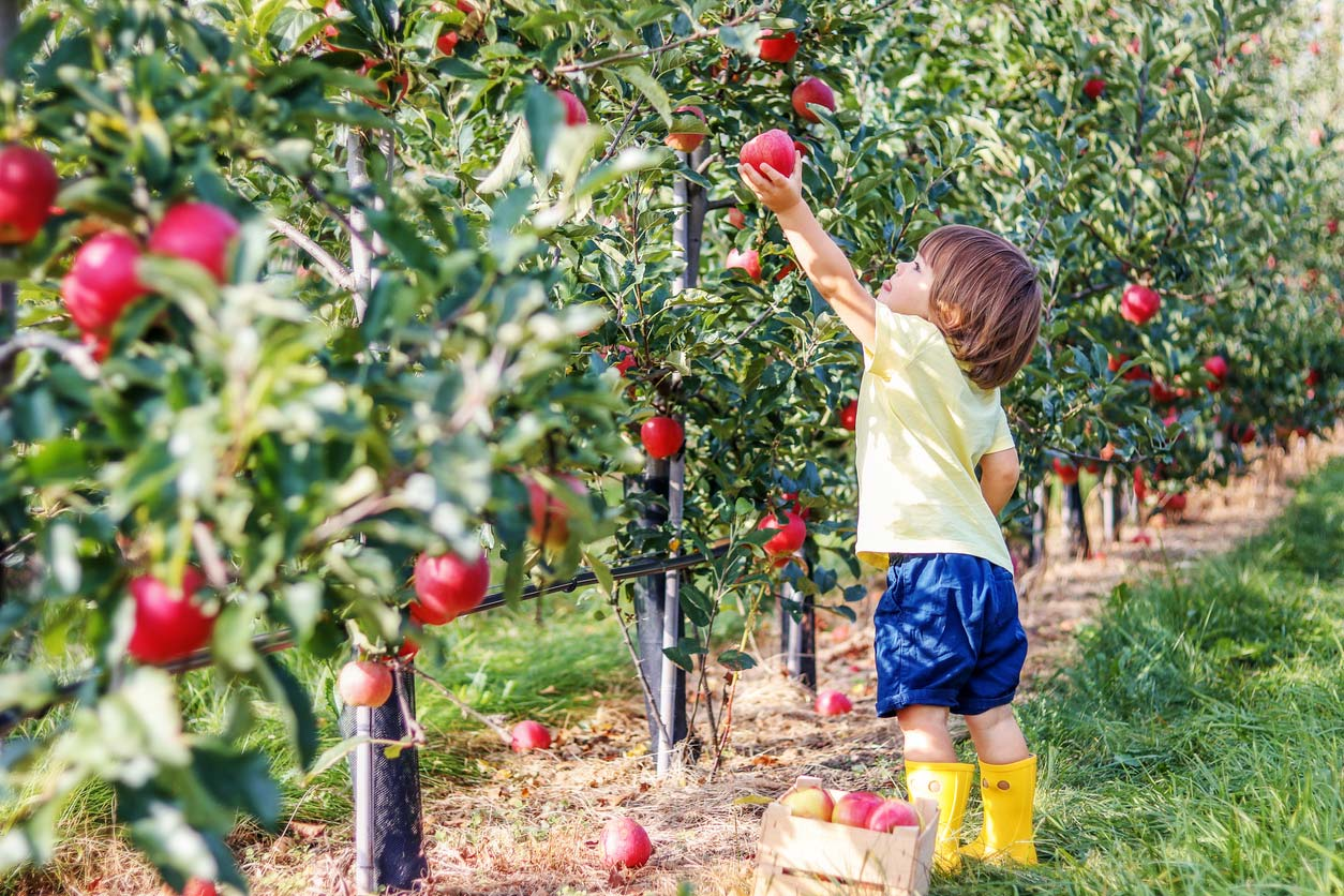 young child picking apples in garden