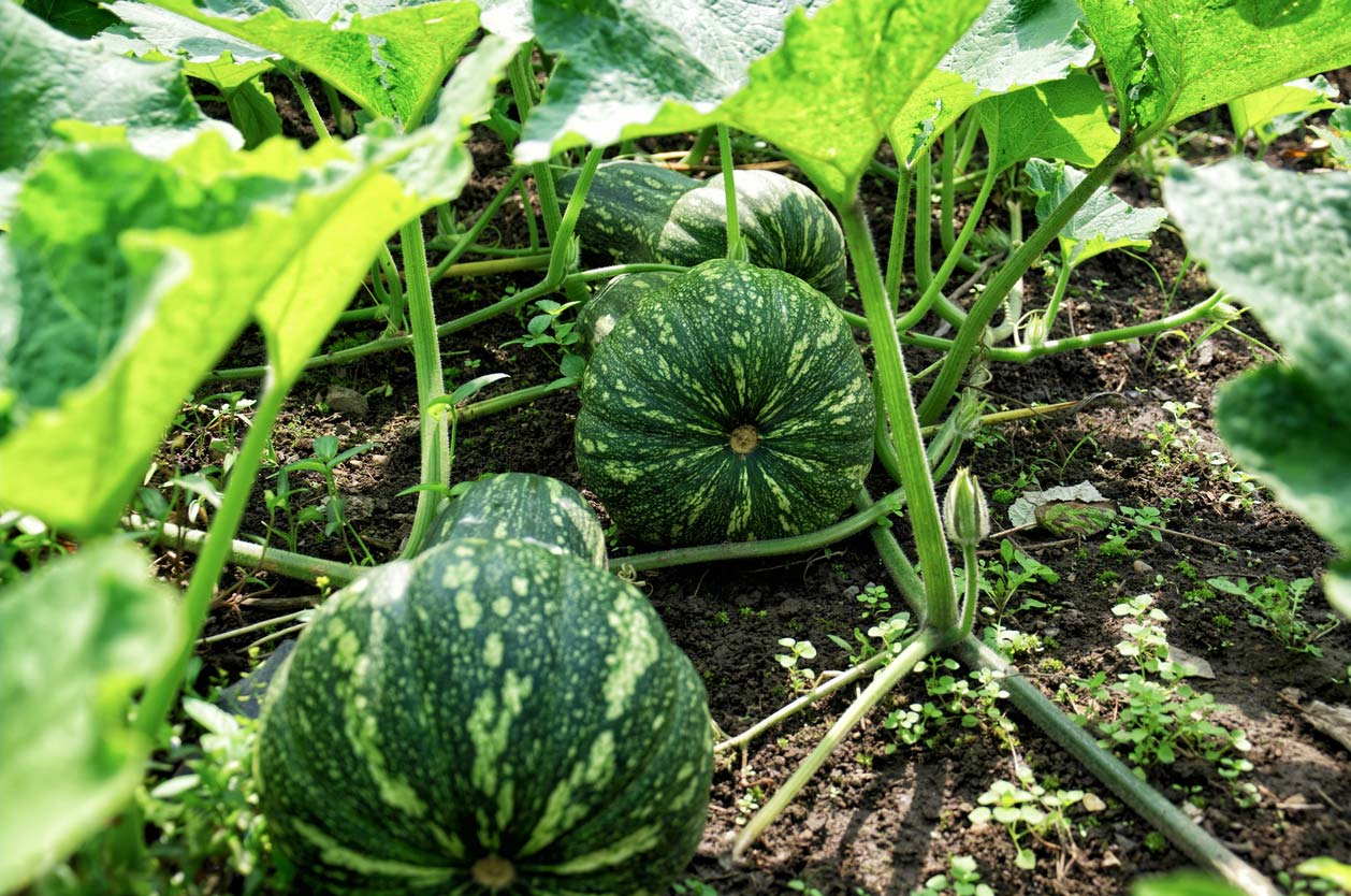 Growing squash outdoors