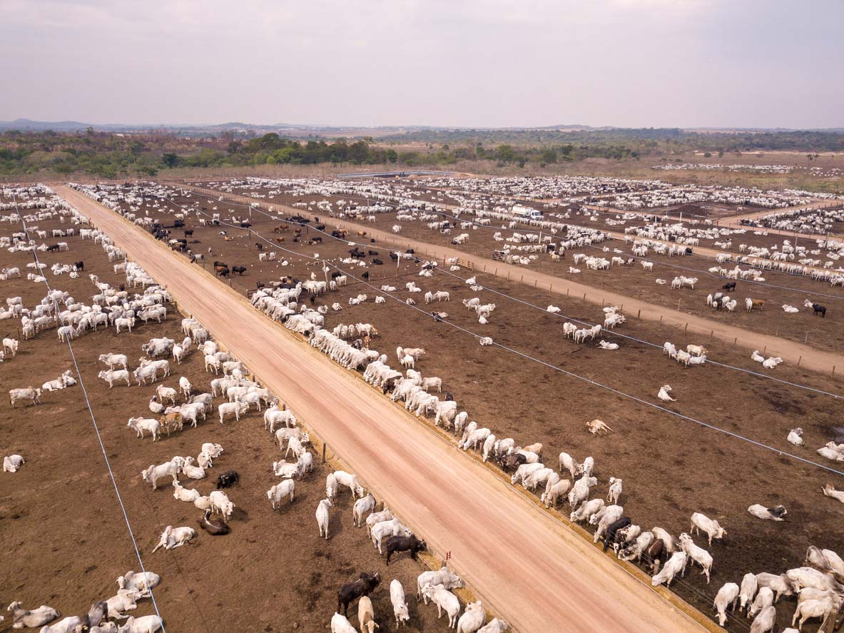 drone view of cattle feeding in feedlot