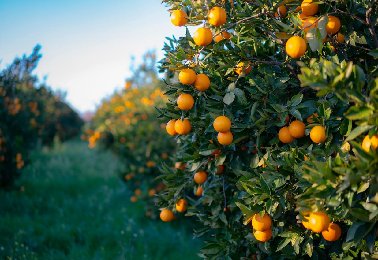 oranges growing on tree orchard