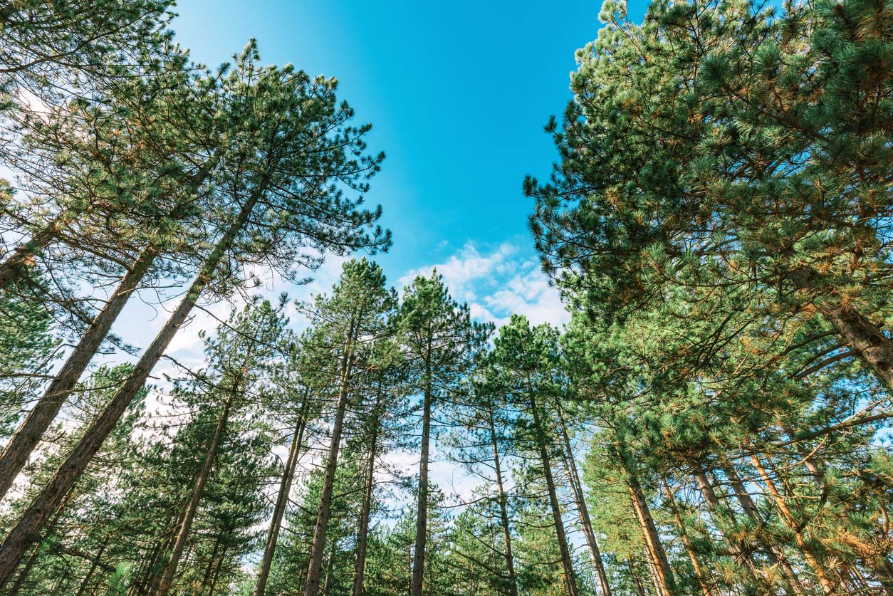 low angle view of pine tree tops