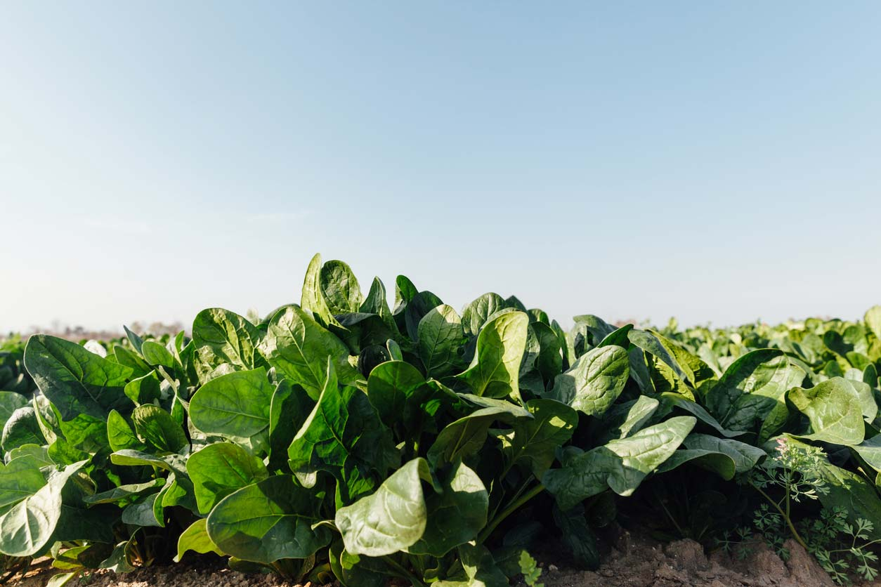 spinach growing in field