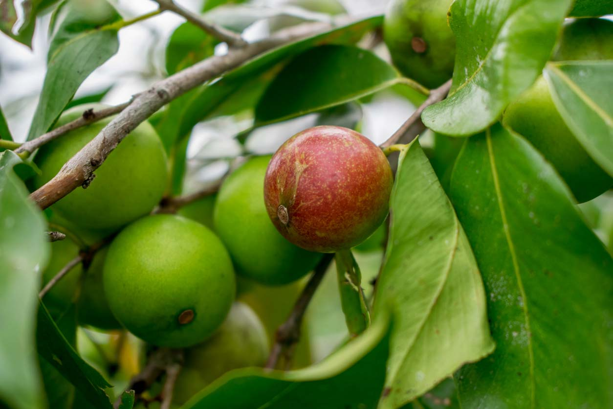 Camu camu, a clean skincare ingredient