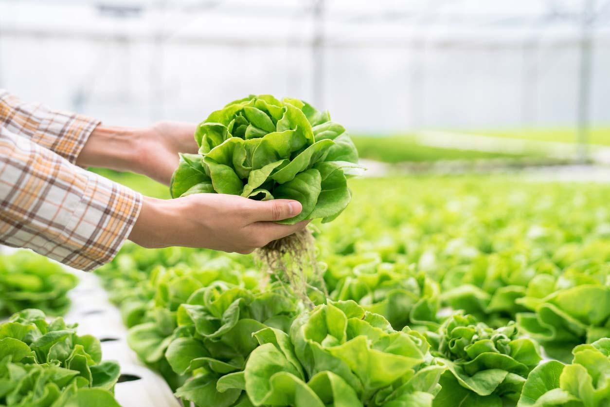 hands holding organic lettuce in hydroponic farm