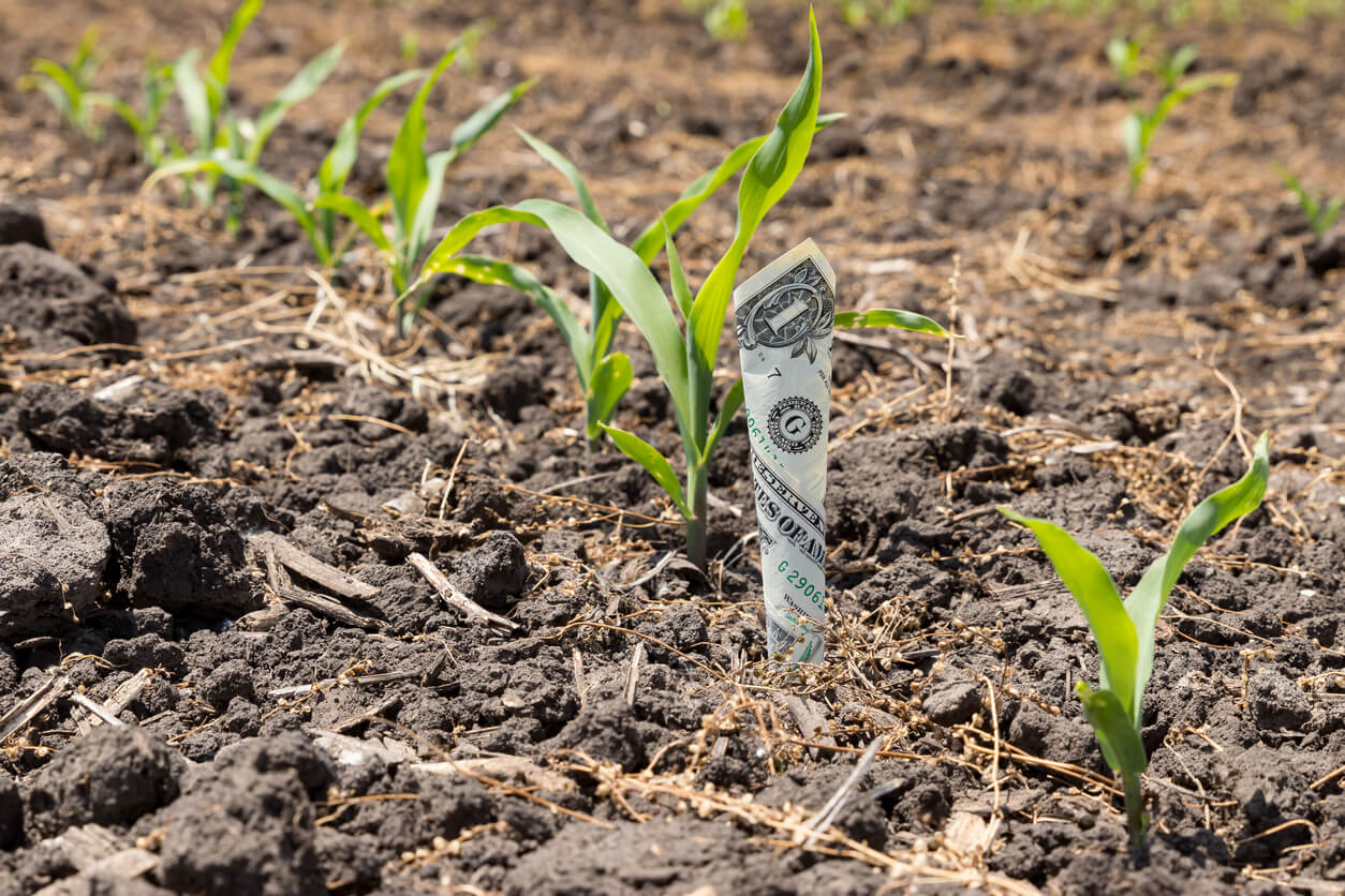 one dollar in row growing in cornfield concept of farming profit cost