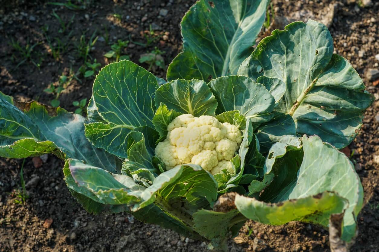 fresh cauliflower in garden patch