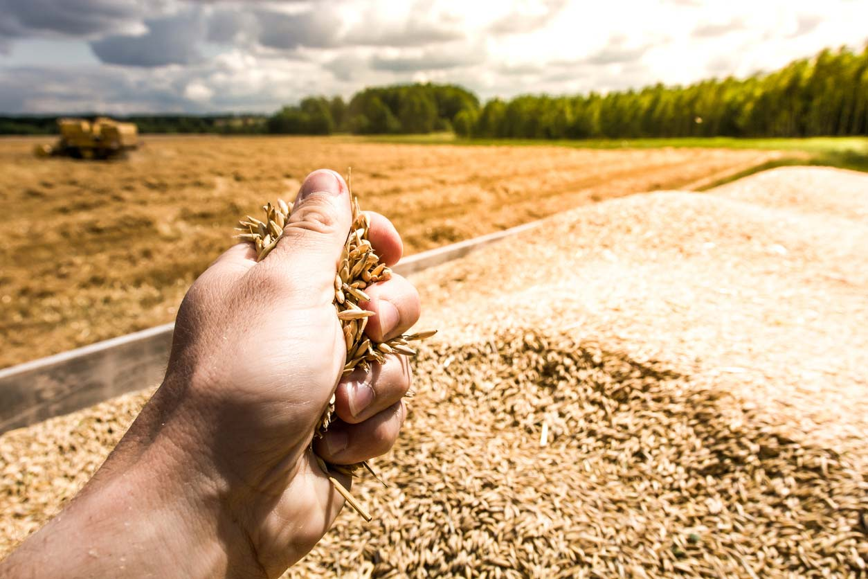 hand holding grains in field