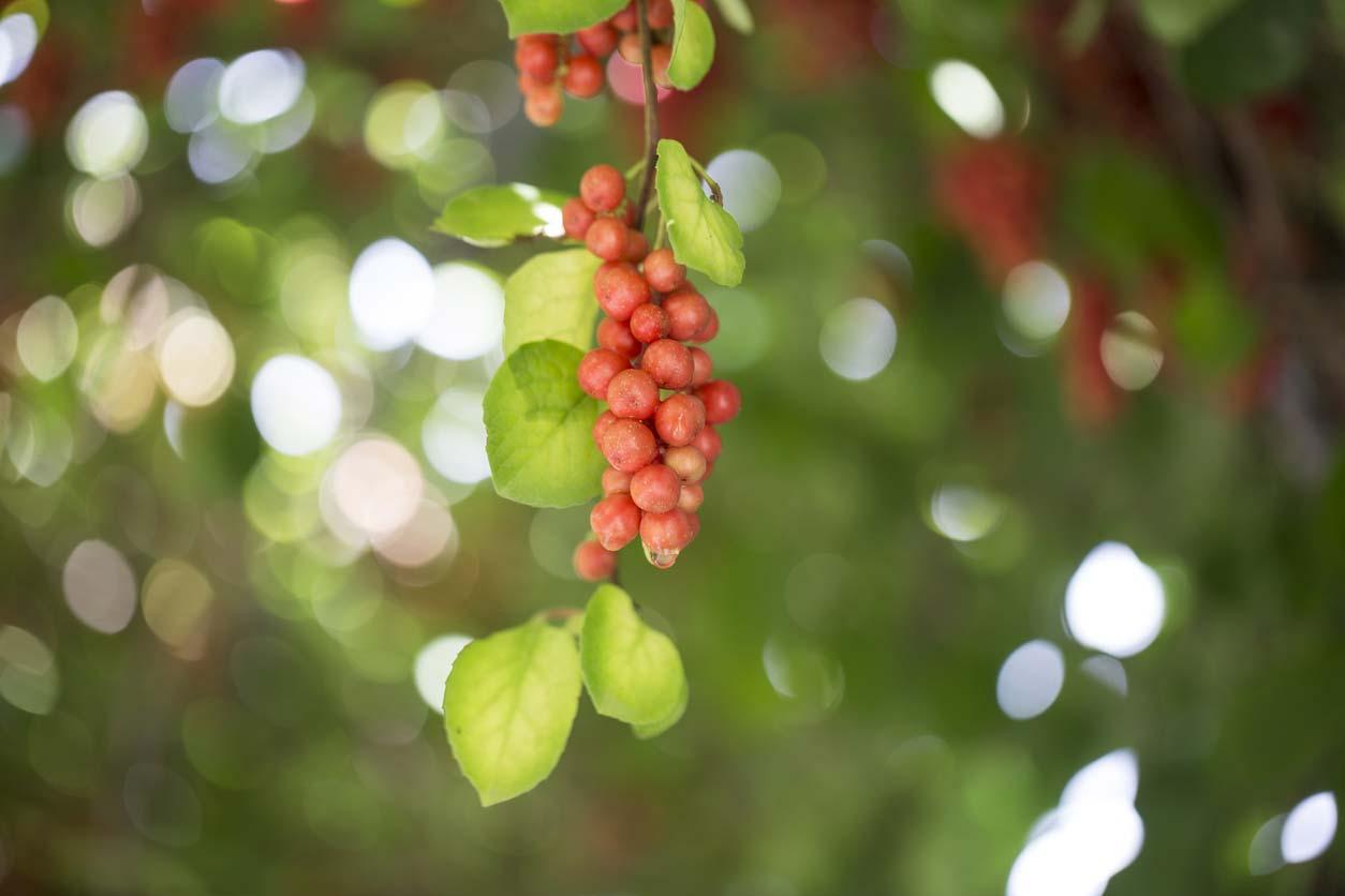 ripe fruit of magnolia vine