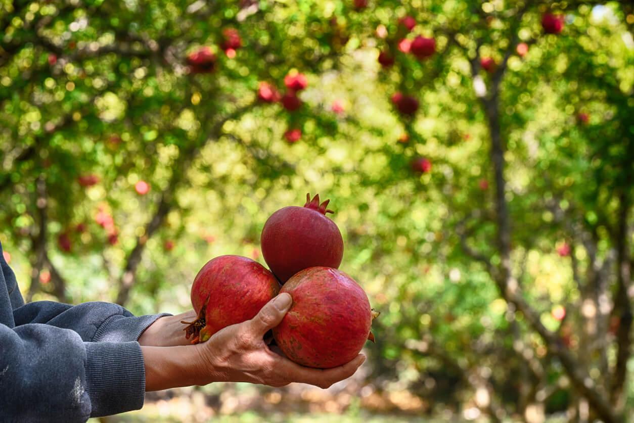 pomegranate garde