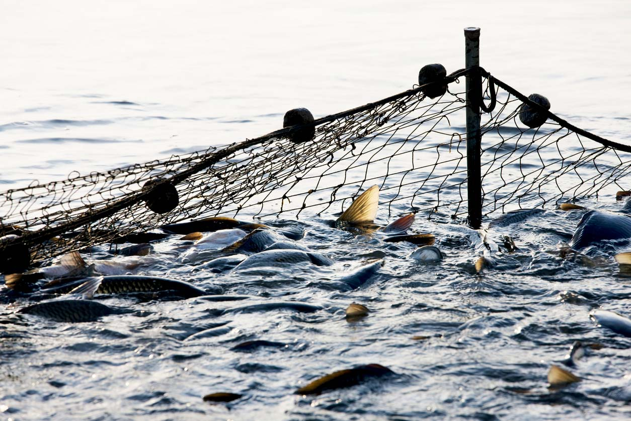 fish being caught up in a net