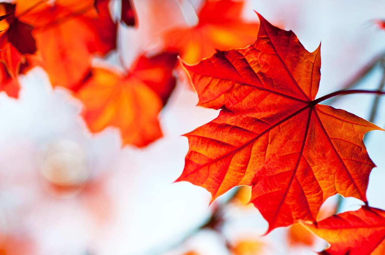 Maple leaf, a clean skincare ingredient