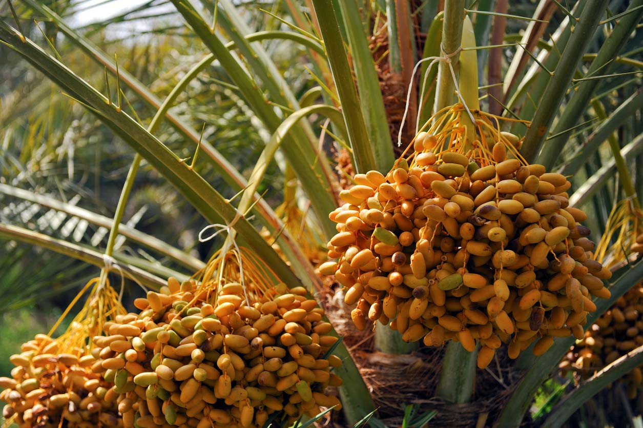dates growing on date palm