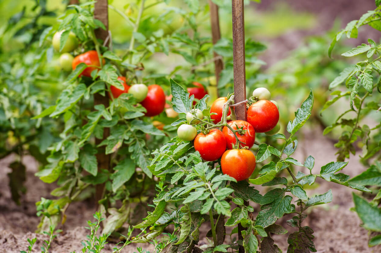 tomatoes growing on the branches